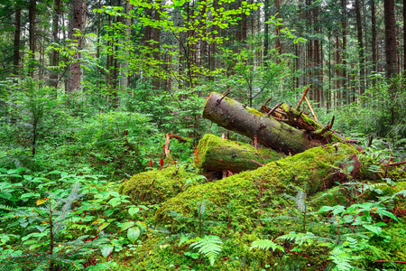 old fallen trees in the forest. Falen leaves in autumn.  Carpathian region. Ukraine Stok Fotoğraf
