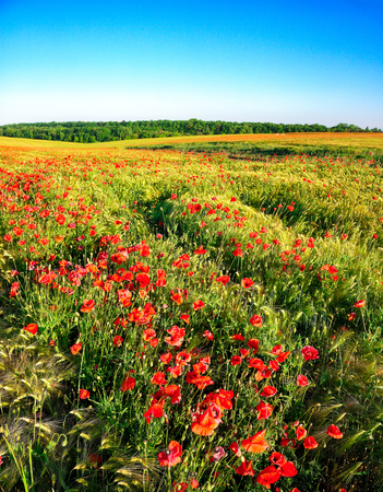 Bright poppies at sunset. Blue sky. Sunny shoot.