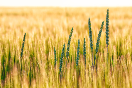Summer background golden wheat ears in sunlight. Wheat sprouts on sunny day Stock Photo