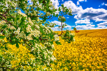 Lonely hawthorn tree flowering against blooming colza field. Blue cloudy sky above Stock Photo