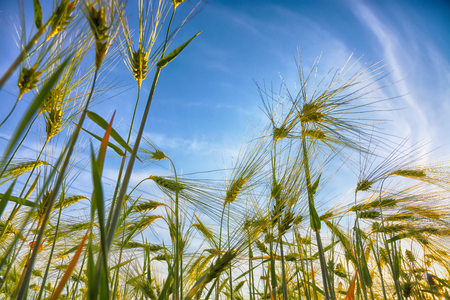 Green wheat field with blue sky in background. Close up of ripe wheat ears
