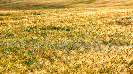 Summer background golden wheat ears in sunlight. Wheat sprouts on sunny day 写真素材