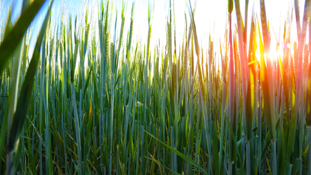 Green wheat field with sunset in background. Close up of ripe wheat ears