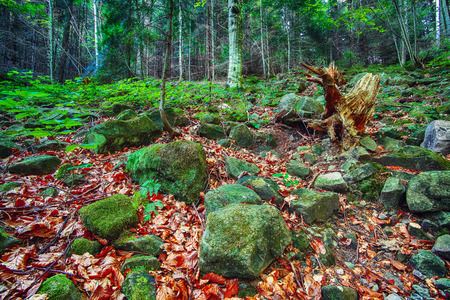 Colorful green mossy big stones. bright bushy lichen on an old gray stones in the mystic forest. Carpathian region. Ukraine Фото со стока