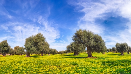 Plantation with many old olive trees and yellow blossoming meadow. Early spring season on Apulia region, Italy.