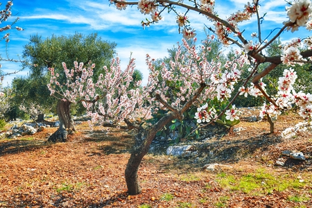 Beautiful white almond flowers on almond tree branch in spring Italian garden, Sicilia. Farming and gardening, growing nuts against blue sky in sunny day. Reklamní fotografie