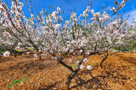 Beautiful white almond flowers on almond tree branch in spring Italian garden, Sicilia. Farming and gardening, growing nuts against blue sky in sunny day. 스톡 콘텐츠