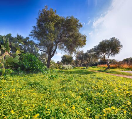 Blooming olive garden at Cape Milazzo during daytime. Location Sicily island, cape Milazzo, Italy, Europe, Tyrrhenian sea. 스톡 콘텐츠