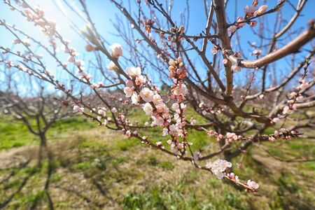 Beautiful pink almond flowers on almond tree branch in spring Italian garden, Sicilia. Farming and gardening, growing nuts against blue sky in sunny day. Zdjęcie Seryjne