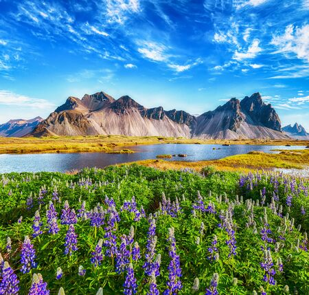 Beautiful sunny day and lupine flowers on Stokksnes cape in Iceland. 스톡 콘텐츠