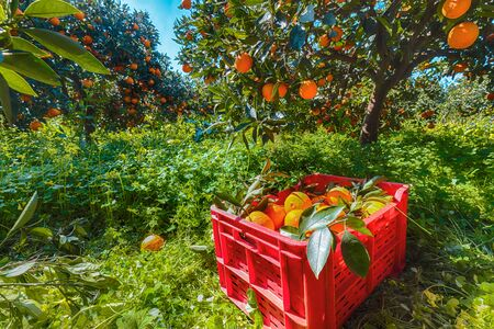 Red plastic fruit boxes full of oranges by orange trees during harvest season in Sicily. Harvesting oranges in Sicily, Italy, Europe