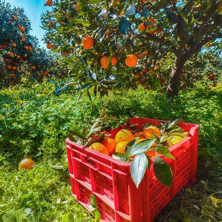 Red plastic fruit boxes full of oranges by orange trees during harvest season in Sicily. Harvesting oranges in Sicily, Italy, Europe Banco de Imagens - 128818900
