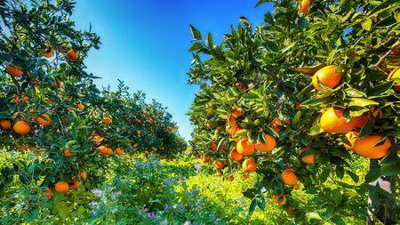 Naranjas maduras en árbol en jardín de naranjos. Cosecha de naranjas en Sicilia, Italia, Europa