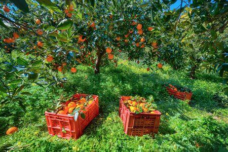 Red plastic fruit boxes full of oranges by orange trees during harvest season in Sicily. Harvesting oranges in Sicily, Italy, Europe