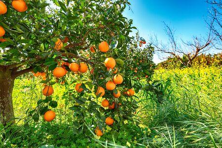 Dojrzałe pomarańcze na drzewie w pomarańczowym ogrodzie. Zbiór pomarańczy na Sycylii, we Włoszech, w Europie Zdjęcie Seryjne