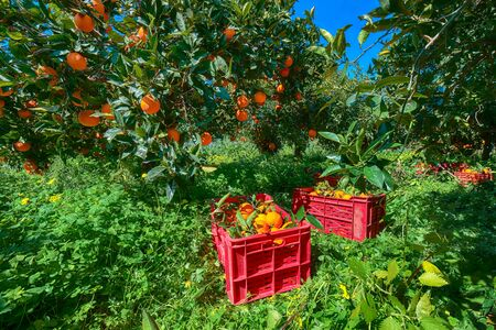 Red plastic fruit boxes full of oranges by orange trees during harvest season in Sicily. Harvesting oranges in Sicily, Italy, Europe Banco de Imagens - 128819204