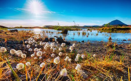 White fluffy cotton flowers at Myvatn lake. Location: Myvatn region, North part of Iceland, Europe
