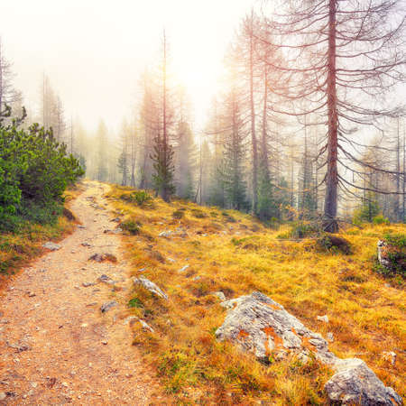 Autumn foggy landscape with pinetrees and larches in mountains on the track to Federa lake. Location: Cortina d'Ampezzo, Province of Belluno, South Tyrol, Italy, Europe