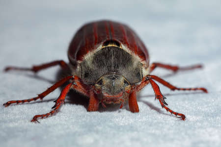 Cockchafer beetle. Extreme close up. Shallow DOF