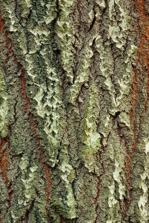 Background of bark of White Poplar, Populus alba, closeup. photo