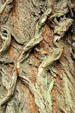 salix alba: Background of bark of White Willow, Salix alba, closeup. Stock Photo
