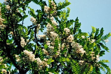 Flowers of blooming Black Locust tree,  Robinia pseudacacia.
