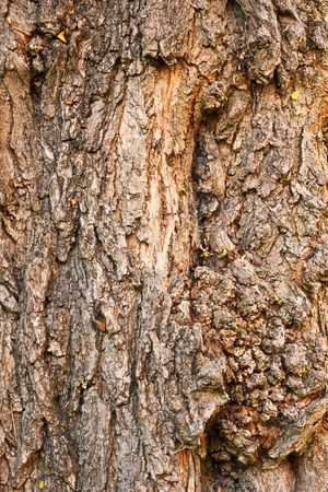 Background of bark of Black Locust, Robinia pseudacacia, closeup. photo