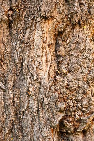 Hintergrund der Rinde des Black Locust, Robinie Pseudacacia, Closeup.