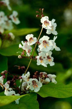 catalpa: Indian bean tree, Catalpa bignonioides, is also known as catawba, cigar tree, and  fish bait tree.
