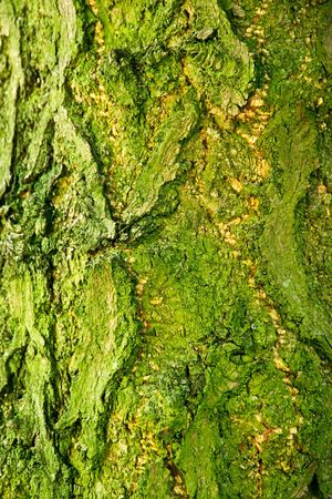 Background of bark of Ginkgo tree, Ginkgo biloba, closeup. photo