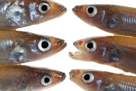 Confrontation. Arrangement of small fish (smelts) on white background photo