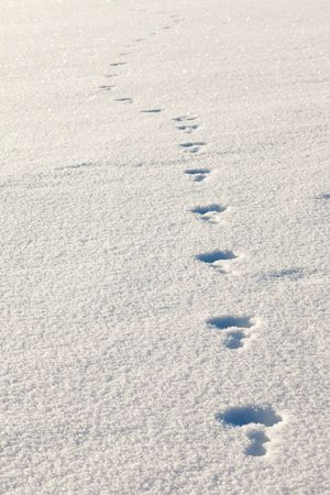 recent tracks of a snowshoe hare (white rabbit, bunny) in fluffy surface of freshly fallen sow photo