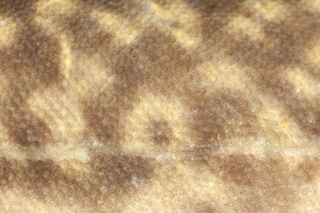 lota: Dise�o de camuflaje natural de peces de agua dulce burbot (Lota lota) Close-up Foto de archivo