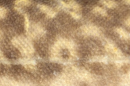 burbot: Natural camouflage design of freshwater fish burbot (Lota lota) close-up Stock Photo