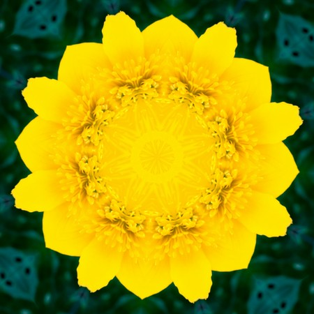 Kaleidoscopic altered image of marsh marigold (caltha palustris), buttercup, resembling a mandala photo