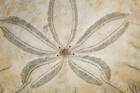 sand dollar: Close-up of sand  dollar (Echinoderm)