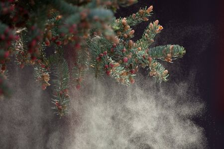 boreal: The black spruce trees of Canadas boreal forest produce emormous amounts of yellow pollen. Stock Photo