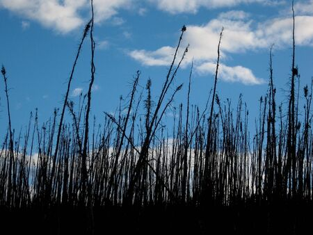 boreal: Burned boreal forest, standing dead charred black spruce trees