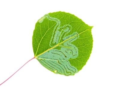 Aspen leaf miner larvae (Phyllocnistis populiella) at work isolated on white Imagens