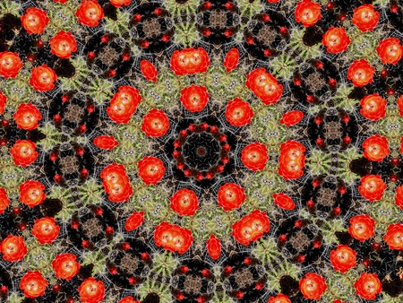 mandala: Kaleidoscopic altered image of blooming cacati resembling a mandala