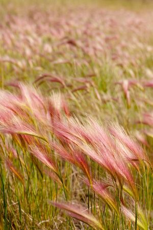 Mature Fox Tail Barley aka Squirrel Tail Grass (Hordeum jubatum) with red tint to seed stalks. Stok Fotoğraf