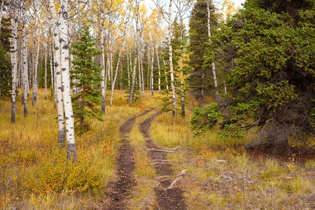 A Trail leads deeper into a fall-colored boreal forest (aspen, Populus tremuloides, black spruce, Picea mariana)  in Yukon Territory, Canada. photo