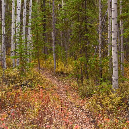 A Trail leads deeper into a fall-colored boreal forest (aspen, Populus tremuloides)  in Yukon Territory, Canada.