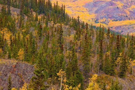 Fall turns the boreal forest (taiga) of Yukon Territory, Canada, into pure gold.