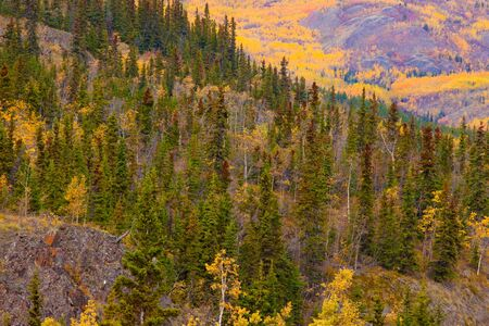 boreal: Fall turns the boreal forest (taiga) of Yukon Territory, Canada, into pure gold.