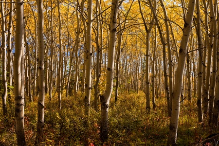 trembling: Golden fall colors in espen (Populus tremuloides) stand in boreal forest of Yukon Territory, Canada.