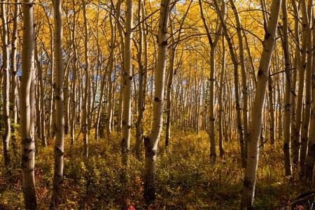 Gouden herfst kleuren in espen (Populus tremuloides) staan in boreal forest van Yukon Territory, Canada.