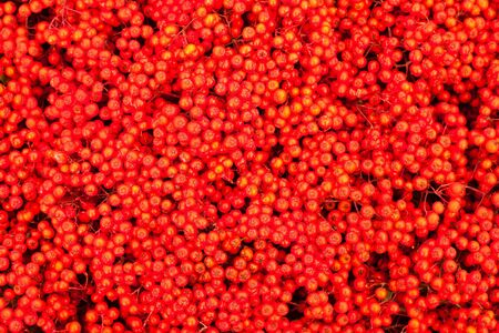 sorbus aucuparia: Background texture pattern of red mountain ash berries (Sorbus aucuparia).
