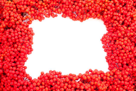 Background texture pattern of red mountain ash berries (Sorbus aucuparia) with empty white copyspace for your message.