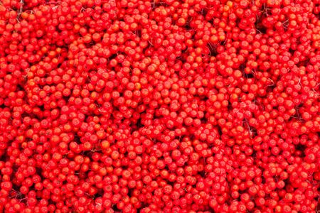 Background texture pattern of red mountain ash berries (Sorbus aucuparia).